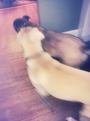 Buddy and Baxter fighting. (aidancampbell2) Tags: baxter buddy fights dogs