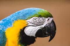 Close up Ara. (Pablin79) Tags: portrait color bird light bokeh parrot animal love colors pet hand one outdoors daylight feather argentina tropical exotic misiones posadas dof araararauna guacamayoazulamarillo