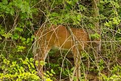 7K8A3799 (rpealit) Tags: scenery wildlife nature east hatchery alumni field hackettstown whitetail deer