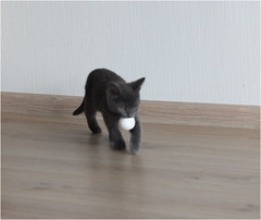 IMG_2508 (murkla_la) Tags: cat russianblue moussie gray graycat