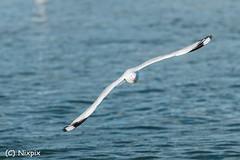 Seagull (nixpix651) Tags: newsouthwales australia theentrance water seagull