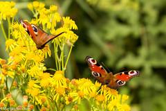 IMG_9139 (m.mosheuvel) Tags: 2016 biesbosch marlijn bloemen boot insecten natuur