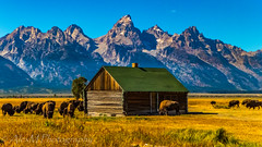 The Home Where the Buffalo Roam (The Happy Traveller) Tags: grandtetonnationalpark bisons bisonherds nature mountains mormonrow wyoming moultonbarn nationalparks naturalbeauty beautifullandscapes
