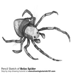 How to Draw a Bolas Spider with Pencils [Time Lapse] It belongs to the orb-weaver spider and its scientific name is Mastophoreae. Step by Step Tutorial on http://bit.ly/2ctb99u Total Time: 2.3 hours Pencils: HB, 2B, 4B (drawingtutorials101.com) Tags: bolas spider spiders insects animals drawings drawing draw how sketch sketching sketches black white learn