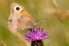 Meadow Brown (ABPhotosUK) Tags: animals butterflies canon dartmoor devon ef100400mmisii ef25mmextensiontube eos7dmarkii invertebrates lepidoptera macro maniolajurtina meadowbrown nocrop nymphalidae wildlife