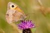 Meadow Brown (ABPhotosUK) Tags: animals butterflies canon dartmoor devon ef100400mmisii ef25mmextensiontube eos7dmarkii invertebrates lepidoptera macro maniolajurtina meadowbrown nocrop nymphalidae wildlife