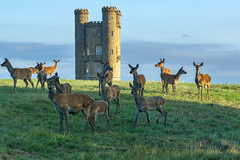 Broadway Tower Deer (jactoll) Tags: broadway worcestershire cotswolds tower folly deer light landscape sony a6000 zeiss 70200mmf4 jactoll