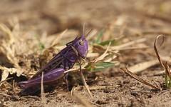 The bishop of grasshoppers - Chorthippus cf. biguttulus f. 1191 (Henrik Gyurkovics) Tags: chorthippusbiguttulus chorthippus purplegrasshopper grasshoppers purple hungary canoneos60d macro