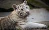 White Tiger Cub (Jasper Gielen) Tags: nikon tijger tigre whitetiger 80400mm pantheratigris amnéville wittetijger tigreblanco welp tigreblanc zoodamnéville d5300 tijgerwelpjes