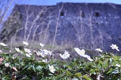 Buschwindrschen vor der Raubritterburg der Ritter von Hune (Uli He - Fotofee) Tags: nikon uli ulrike frhling nikon90 fotofee ulrikehe ulihe