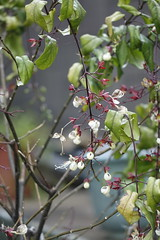 Nodding Clerodendrum (ddsnet) Tags: plant flower home sony cybershot     rx10 noddingclerodendrum