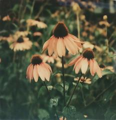 Echinacea (Kim Smith-Miller) Tags: pink flowers green polaroid sx70 flora echinacea coneflower portlandor 2014 instantfilm polaroidweek natureycrap impossibleproject roidweek2015