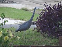 Grey Heron (pat.bluey) Tags: bird australia newsouthwales 1001nights mygarden greyheron coth coth5 1001nightsmagiccity