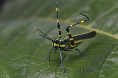Aposematic lubber grasshopper (ggallice) Tags: peru andes cloudforest orthoptera pasco lubbergrasshopper romaleidae aposematic aposematism chromacris yanachaga–chemillén