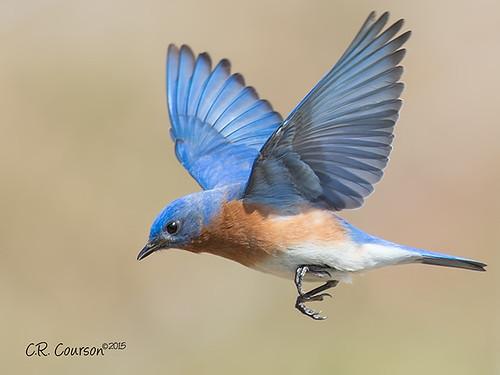 Eastern bluebird in flight - photo#19