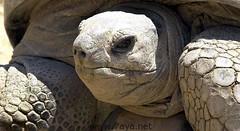 """وفاة """"سلحفاة الملك فاروق"""" ثاني أكبر حيوان على وجه الأرض في مصر (www.3faf.com) Tags: مصر على أكبر الأرض ثاني حيوان وجه فاروق الملك سلحفاة وفاة"""