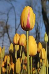 _MG_4288 (Gkmen Kmrt) Tags: flower tulip 2015 emirgan laleler