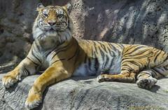 Sumatran Tiger (Chris Denny/dennyc69) Tags: cats animals zoo wildlife tigers louisvillezoo