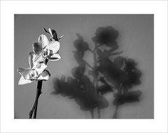 DSCF7753 Orchid + Shadow (roger-evans) Tags: shadow bw orchid flower x10