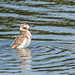 Female Long-tailed duck (Clangula hyemalis)....1 of  2 in set.