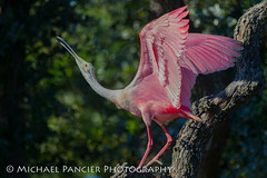 Spoonbill Displaying (Michael Pancier Photography) Tags: pink green birds us unitedstates florida birding staugustine pinkbirds travelphotography saintaugustine birdphotography alligatorfarm commercialphotography naturephotographer floridabirds editorialphotography michaelpancier michaelpancierphotography avianphotography landscapephotographer avianphotographer fineartphotographer floridabirding michaelapancier alligatorfarmzoologicalpark wwwmichaelpancierphotographycom