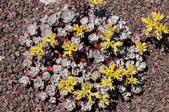 Sedum spathulifolium, Spatelblättrige Fetthenne (julia_HalleFotoFan) Tags: sedum hallesaale sedumspathulifolium botanischergartenhalle spatelblättrigefetthenne