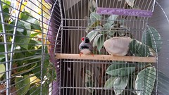 Finchly Finch (PD3.) Tags: uk england pet bird birds private hampshire finch zebra fareham hants