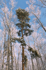 Snowy frosty forest (Alexis2k) Tags: trees winter sunlight snow tree nature pine forest frost outdoor spruce солнце зима снег мороз frostandsun солнечныйсвет frostandsnow морозисолнце canoneos1200d