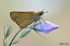 Thymelicus sylvestris (alfvet) Tags: macro nature nikon ngc butterflies natura npc farfalla insetto insetti autofocus farfalle sigma150 parcodelticino d5200 veterinarifotografi