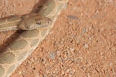 Spalerosophis dolichospilus (MP7Aquit) Tags: trip macro sahara nature field del  snake wildlife sony du full culebra 99 maroc frame maghreb 28 alpha tamron marruecos 90 ff slt herp occidental magreb 2015 diadem 24x36 diadme couleuvre herping tamronspaf90mmf28dimacro herpto herpeto spalerosophis dolichospilus spalerosophisdolichospilus sonya99 diademada mograbin sonyalpha99 culebradiademadadelmagreb mograbindiademsnake couleuvrediadmedumaghreb