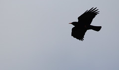 Chough in flight (4867) (shelleyK2) Tags: bird nature wildlife sigma chough isleofman springwatch canon60d