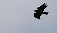 Chough in flight (4867) (shelleyK2) Tags: bird nature wildlife sigma chough isleofman springwatch canon60d