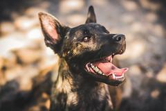 IMG_0812 (jabberjinx) Tags: dog dogs canon shepherd canine hh brindle dutchshepherd dogphotos hollandse dutchie paimenkoira hollandseherder canoneos7d canon7d hollanninpaimenkoira holsku