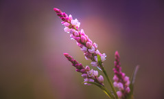 Redshank - Persicaria (Dhina A) Tags: sony apo ii smartweed munchen makro 90mm heinz f28 persicaria 2x redshank kilar sonyalpha a7r kilfitt 16blades kilfittmakrokilar90mmf28 a7rii a7r2 ilce7rm2