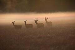 Band of Brothers (Chaitanya Deshpande | Photography) Tags: deer red deerinthemist reddeer