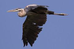 Great Blue Heron in Flight-3 (Scott Alan McClurg) Tags: aherodias ardea ardeidae flickr animal back backyard bird blue greatblueheron heron land landing life nature naturephotography neighborhood summer wild wildlife
