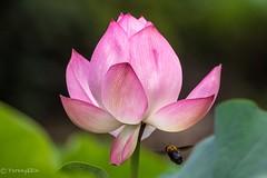 Lotus and bee (Yorkey&Rin) Tags: 2016 7月 bee em5 japan july lotus machida olympus olympusm75300mmf4867ii rin t7191510 tokyo yakushiikekouen 大賀ハス 町田市 東京都 蜂 薬師池公園 蓮