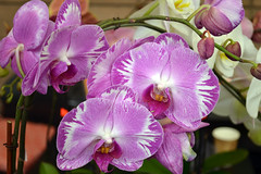 2016-07-23 08775 Orchid Show, SF County Fair Bldg (Dennis Brumm) Tags: sanfrancisco california july 2016 orchids exposition flowers plants bromeliads