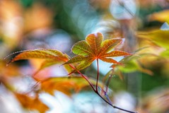 Maple leaves (JPShen) Tags: lighting leave leaf maple bokeh