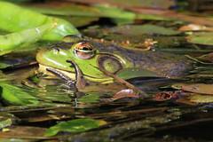 Winkin' and Wavin' (Paridae) Tags: frog amphibian pondlife afewofmyfavouritethings wavingfrog frogeyelids amphibiansofbritishcolumbia campbellvalleypark canoneos7d