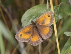 Gatekeeper  (Mark Walpole) Tags: gatekeeper old moor rspb butterfly