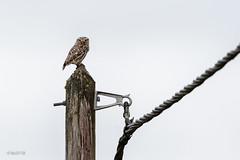Chouette chevêche d'Athéna (sfrancois73) Tags: oiseau faune chevêchedathéna