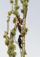 Yellow-fronted Woodpecker - benedito-de-testa-amarela - Melanerpes flavifrons