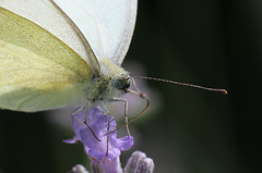 Schmetterling , Kohlweiling , NGID1517051200 (naturgucker.de) Tags: nauheim naturguckerde ngid1517051200 cbettinahrr