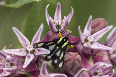 eight spotted forester moth Alypia octomaculata (Jeff Mitton) Tags: flower moth milkweed showymilkweed alypiaoctomaculata eightspottedforestermoth earthnaturelife wondersofnature}