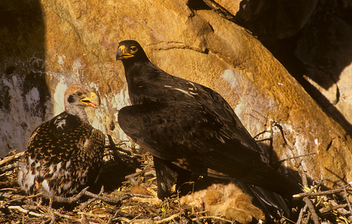 Verreaux,s Eagle on nest Feeding chick on remains of Smith's Red Rock Rabbit,  with CGS processing