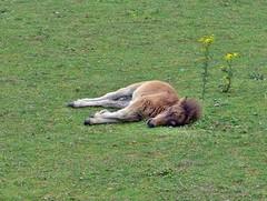 kleine Pferde brauchen viel Schlaf (mama knipst!) Tags: horse animal cheval natur cavallo pferd tier fohlen