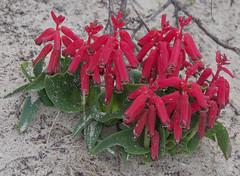 Lachenalia bulbifera, City Beach, Perth, WA, 27/07/16 (Russell Cumming) Tags: plant weed lachenalia lachenaliabulbifera asparagaceae citybeach perth westernaustralia