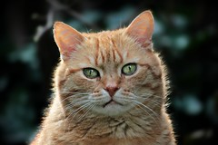 strolchowski (sillitilly) Tags: cat animal kitty gato feline ginger macro