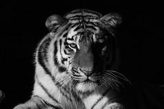 """Tg Nbg   """"schau mir in das Auge""""      160718 (Eddy L.) Tags: tiergartennrnberg tiergartenfreundenrnbergev nuremberg tiger sibirischertiger jungtier 1jahralt amurtiger ussuritiger pantheratigrisaltaica aljoscha volodya portrait 672015 minoltaafreflex500 sonyphotographing siberiantiger tigredesibrie amurskiytigr tigresiberiano siberiantijger sw schwarzweis monochrome blackwhite biancoenero blanconegro noiretblanc schwarzerhintergrund blackintheback blackandwhite eddyl teleobjektivbilder"""